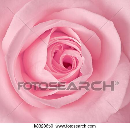 stock photography of close up image of single pink rose k8328650