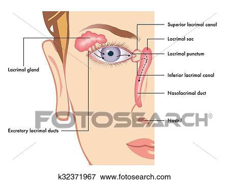 Clip Art Of Lacrimal Apparatus K32371967 Search Clipart