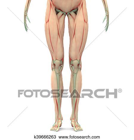 Dibujo - pierna humana, articulaciones, músculos, anatomía k39666263 ...