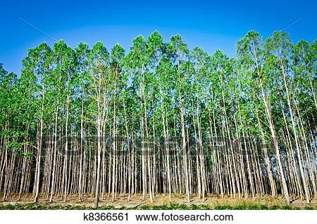 Stock Photography Of Eucalyptus Tree K8366561 Search Stock Photos