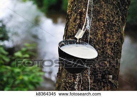 Stock Image Of Milk Of Rubber Tree K8364345 Search Stock Photos