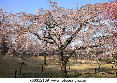 Weeping Cherry Tree In Sakura No Sato Izu Shizuoka Japan Stock