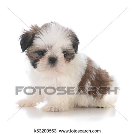 Cute Shih Tzu Puppy Sitting Stock Image K53200563 Fotosearch