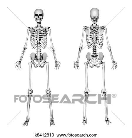 Banco de Fotografías - esqueleto, frente, y, espalda, -, dibujo a ...
