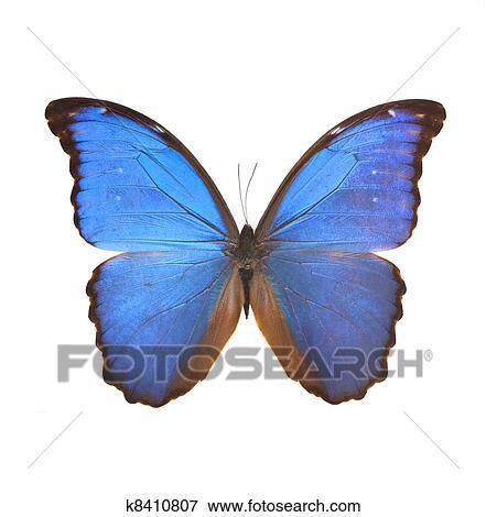 Grande Blu Farfalla Da Il Estremo Oriente Archivio Fotografico