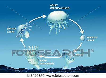 Clip Art Of Diagram Showing Life Cycle Of Jellyfish K43920329