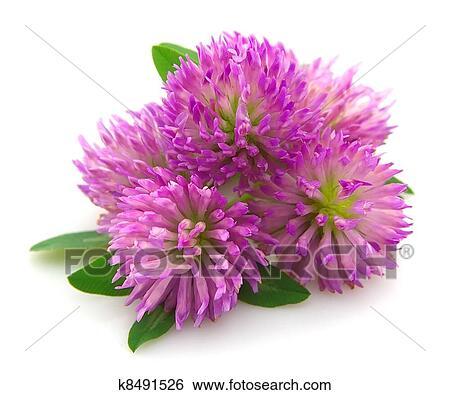 Banque D Images Trefle Rouge Fleur K8491526 Recherchez Des