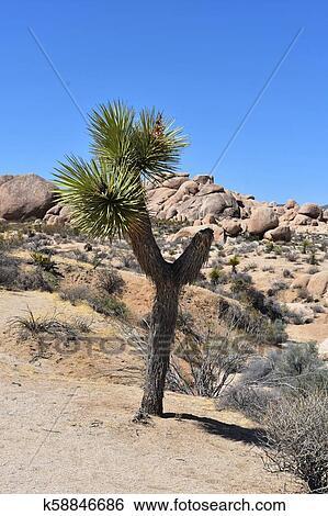 Johsua Tree Growing In The Mojave Desert California Stock
