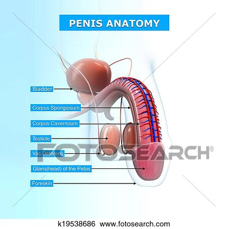 Stock Illustration of Male urinary system with names k19538686 ...