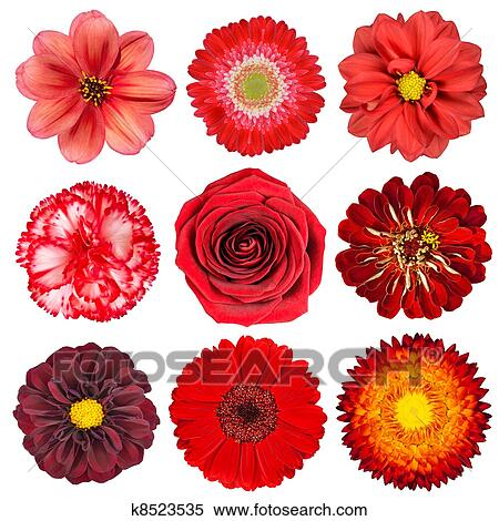 Stock image of selection of red flowers isolated on white k8523535 stock image selection of red flowers isolated on white fotosearch search stock photos mightylinksfo