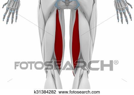 Clip Art of semitendinosus - Muscles anatomy map k31384282 - Search ...