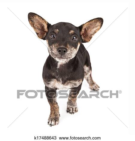 Stock Photo Of Dachshund And Chihuahua Mixed Breed Dog K17488643