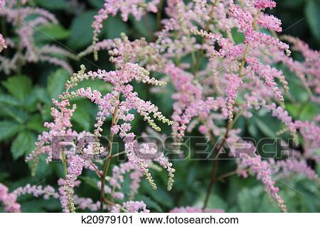 Stock photography of pink feathery flowers england k20979101 stock photography pink feathery flowers england fotosearch search stock photos mightylinksfo