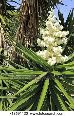 Stock photography of white flowers yucca plant k18591120 search beautiful small white cream color clusters of flowers on top of a tropical shrub that has long and thick green leaves coming from the center outside on a mightylinksfo