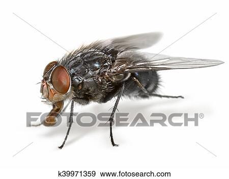 Colección de fotografía - anatomía, de, un, mosca k39971359 - Buscar ...