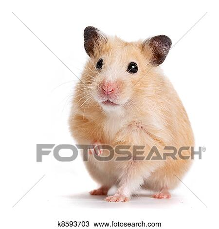 Afbeelding van Schattige grijze hamster geïsoleerd op witte achtergrond stockfoto, beelden en.
