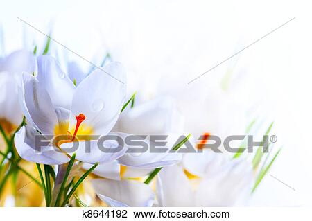 Stock Photo Of Art Beautiful Spring White Crocus Flowers On White