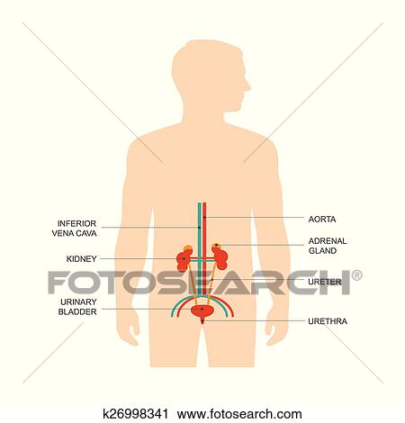 Human urinary system anatomy, Clipart