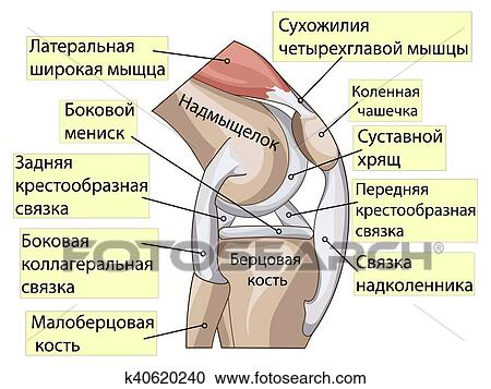 Clipart of Anatomy. Structure knee joint vector k40620240 - Search ...