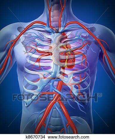 Dessins coeur humain circulation dans a squelette - Dessin du coeur humain ...