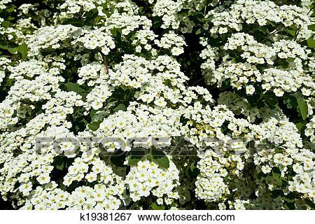 Foto - el arbusto, flores blancas k19381267 - Buscar fotos e ...