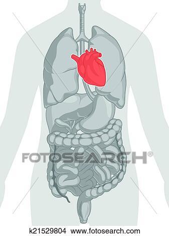 Clipart corps humain anatomie coeur k21529804 - Dessin du coeur humain ...