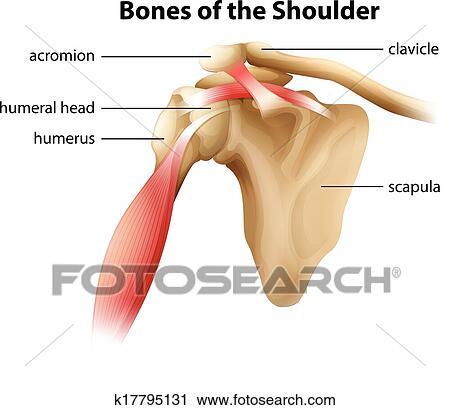 Clipart - huesos, de, el, hombro k17795131 - Buscar Clip Art ...
