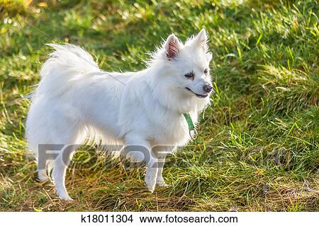 Stock photo of white pomeranian dog k18011304 search stock images white pomeranian dog standing on grass field altavistaventures Image collections
