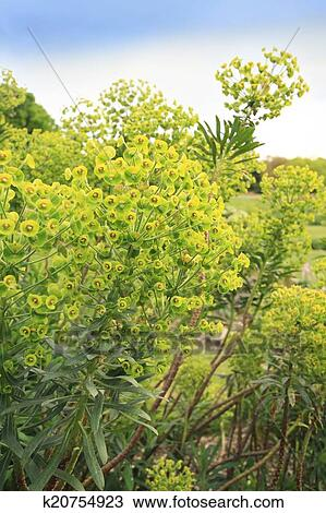 Wood Spurge Euphorbia Amygdaloides Two Flower Spikes Stock Image