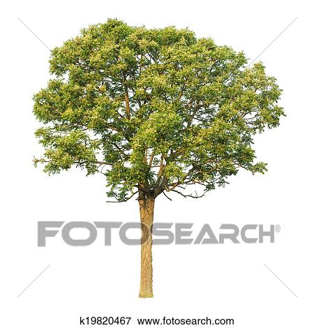 Picture Of Neem Plant Sa Dao K19820467 Search Stock Photography