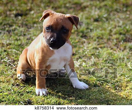 Staffordshire Bull Terrier Puppy Picture