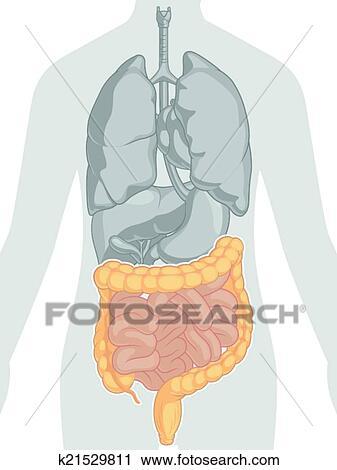 Clipart - cuerpo humano, anatomía, -, intestinos k21529811 - Buscar ...