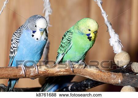 Paire De Bleu Perruches Banque De Photo K8761688 Fotosearch