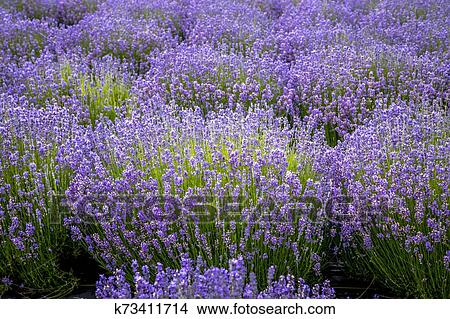 Blooming Lavender Fields In Pacific Northwest Usa Picture