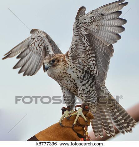 Colección de imágenes - cautivo, halcón seguido por red k8777396 ...