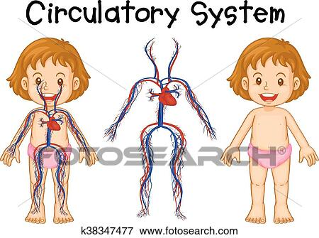 Diagrama De Nina Con Sistema Circulatorio Clip Art K38347477
