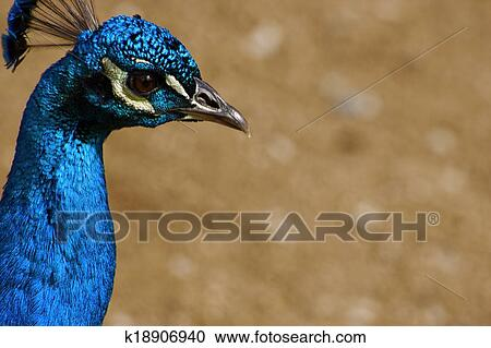 Banco de Fotografías - macho, pavo real, cabeza, 1 k18906940 ...