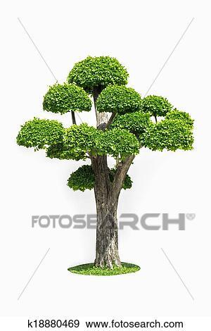 Stock Fotograf Gross Bonsai Baum Freigestellt Weiss K18880469