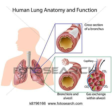 Clip Art - menschliche lunge, koerperbau, &, funktion, eps8 k8796166 ...