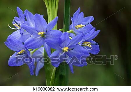 Light Purple Flowers Of Monochoria Elata Ridl.