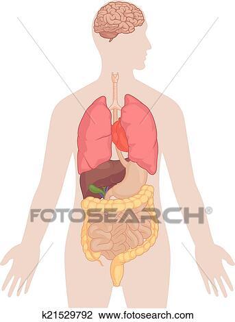 Clipart - menschlicher körper, koerperbau, -, gehirn, lungen ...