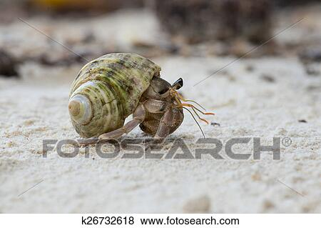 Fotos - cangrejo ermitaño, en, el, cáscara, de, un, caracol ...