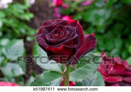 Natural red rose flower close up on green bush Stock Image