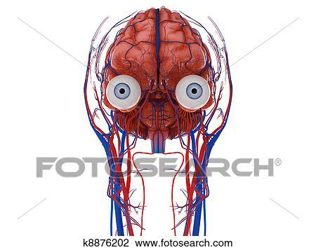 Clip Art - cerebro humano, con, ojos, nervios, y, vasos sanguíneos ...