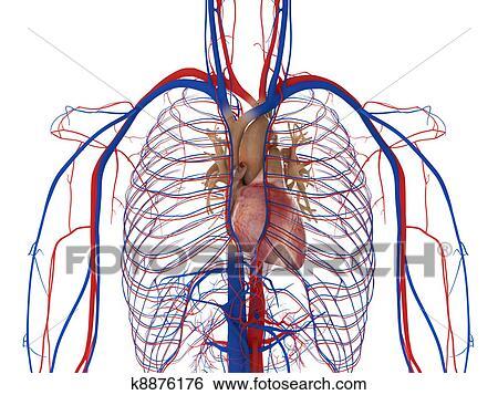 Colección de ilustraciones - corazón, arterias, y, venas k8876176 ...