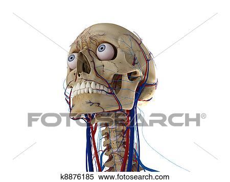Colección de ilustraciones - cráneo humano, con, ojos, arterias, y ...