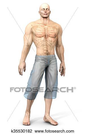 Stock Foto - menschliche anatomie, vergegenwärtigung, -, innere ...