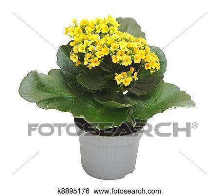 Banque D Images Fleur Kalanchoe K8895176 Recherchez Des Photos