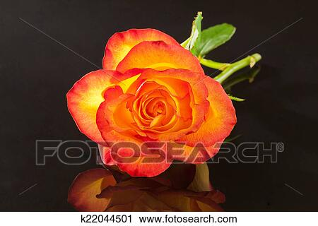 Clipart Of Single Flower Of Yellow Rose On Black Background