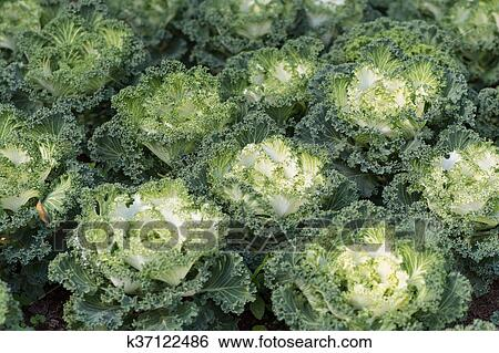 Decorative Cabbage Or Kale Decorative Cabbage Stock Photograph